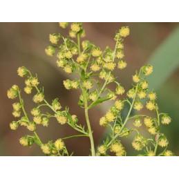 Artemisia annua ziele Bylica roczna 250g cięty Nowotwory NANGA